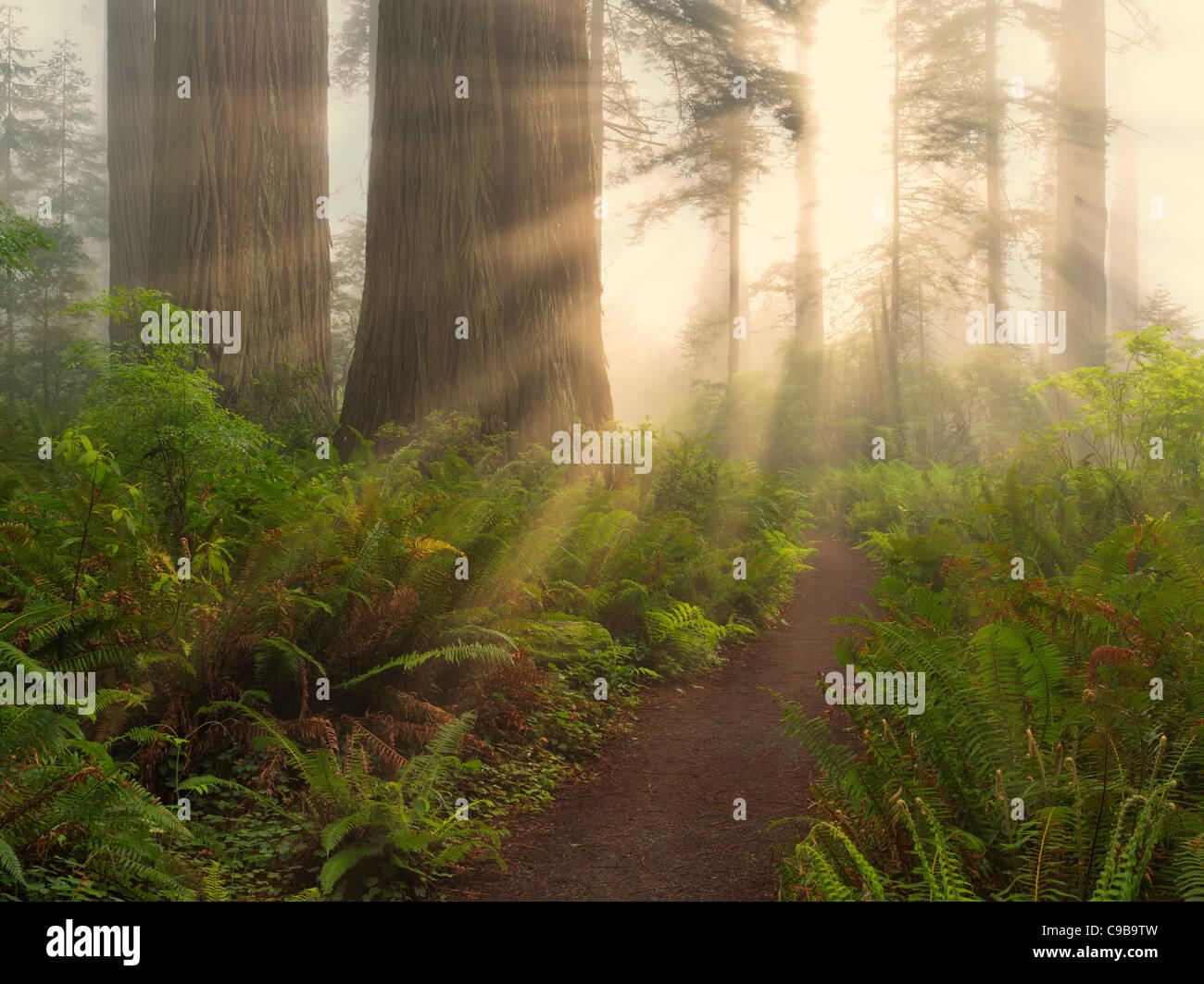 Mammutbäume und Pfad in Lady Bird Johnson Grove. Redwood National und State Parks in Kalifornien Stockbild