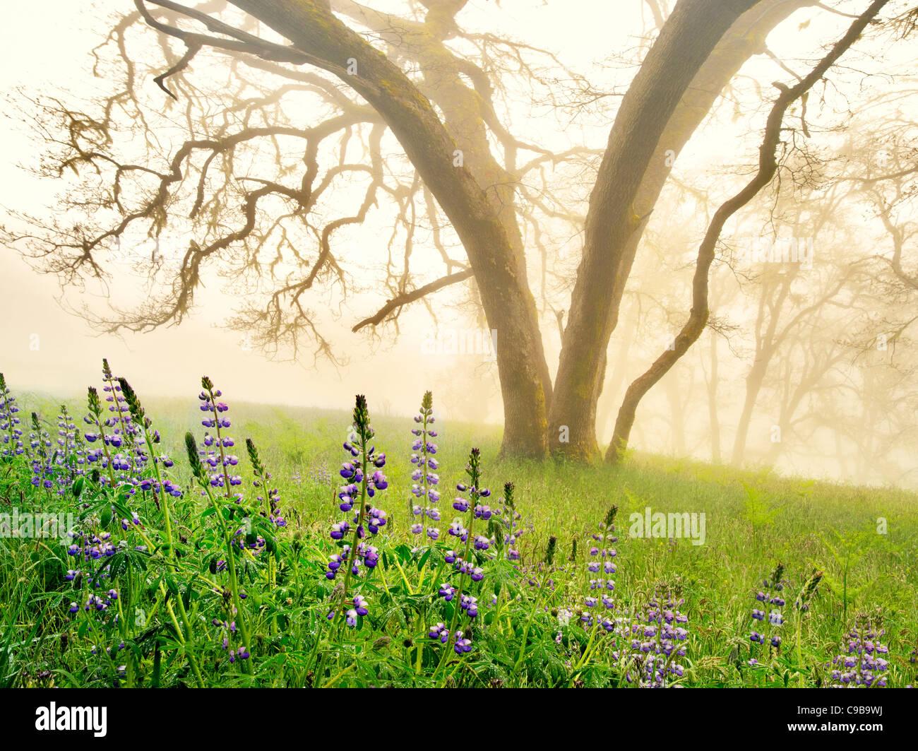 Eiche Bäume und Lupinen im Regen mit Nebel. Redwood National und State Parks in Kalifornien Stockbild