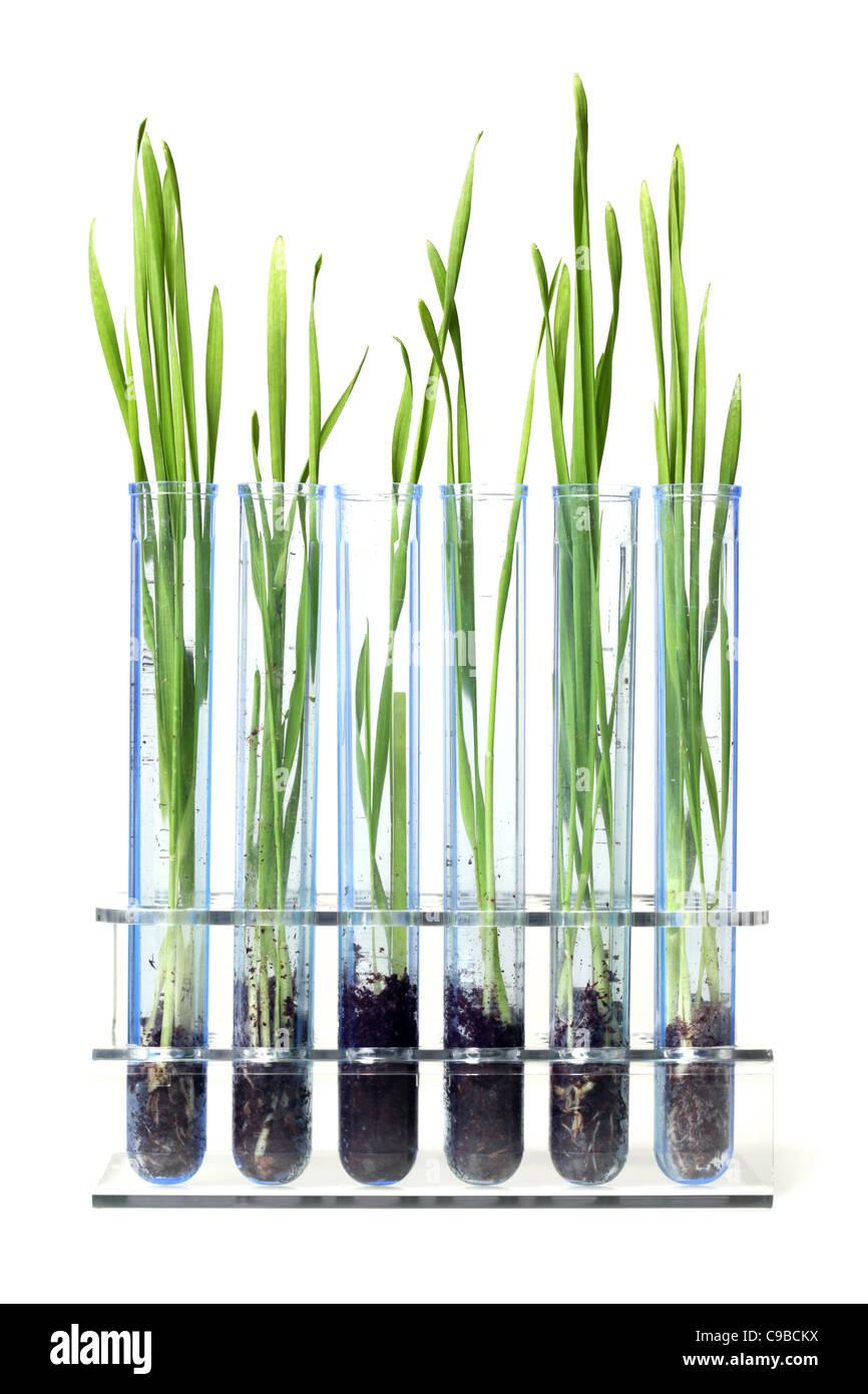 Rasen wächst im Reagenzglas Stockbild