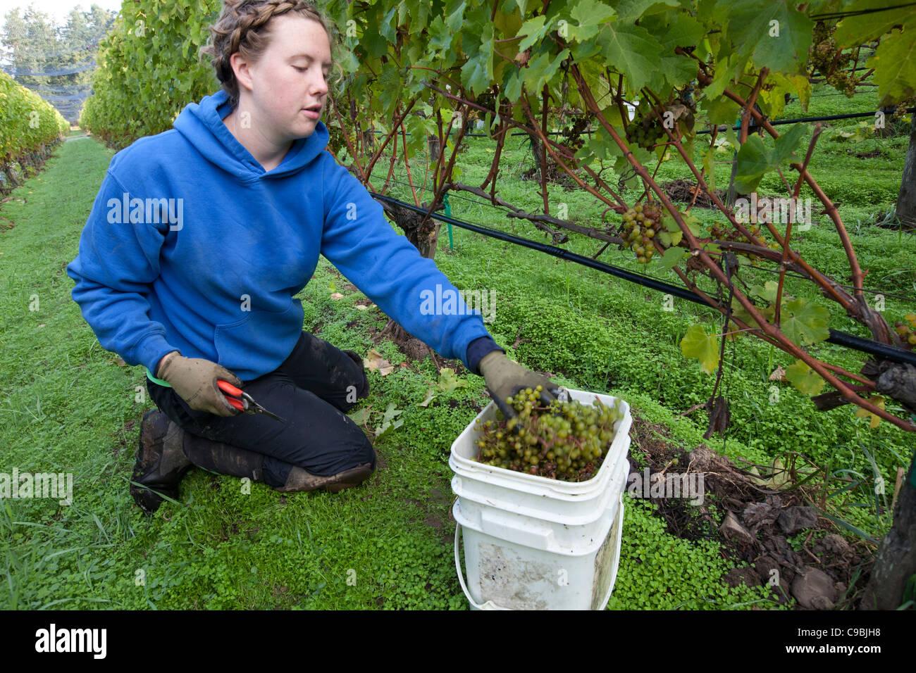 Frau, die Ernte der Trauben für die Weinherstellung. Stockbild