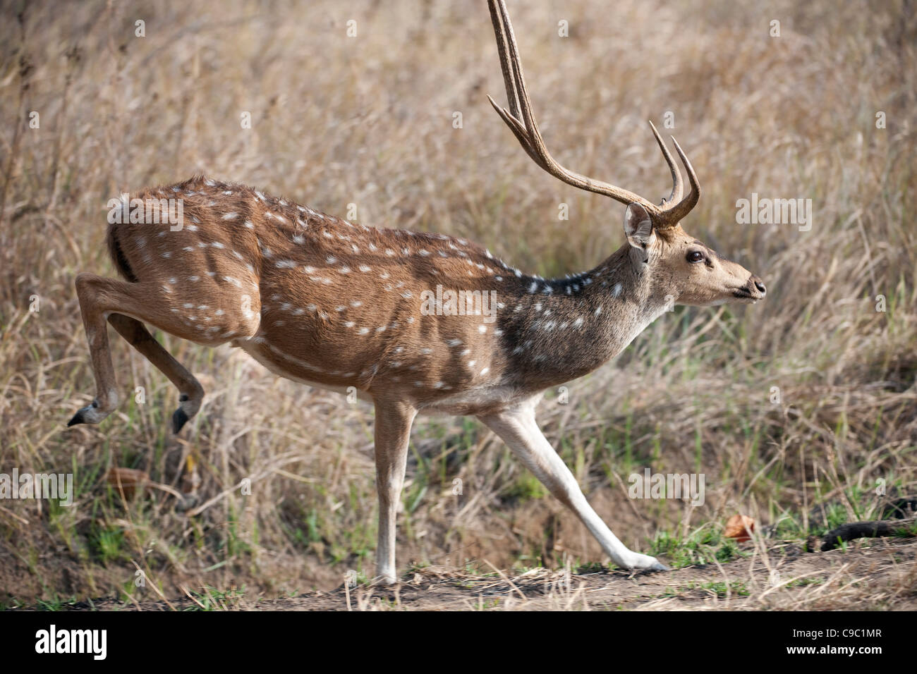 Sehr geehrte Cervus Achse Kanha Nationalpark Indien entdeckt Stockbild