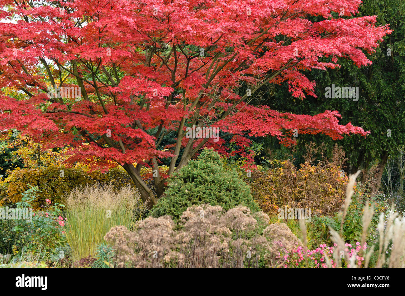 japanischer ahorn acer palmatum 39 autumn glory 39 stockfoto. Black Bedroom Furniture Sets. Home Design Ideas