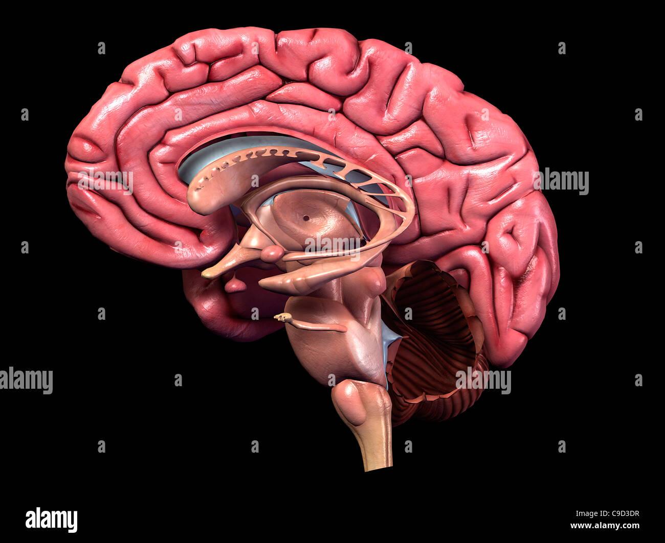Farbdruck, detaillierte menschliche Gehirn Anatomie, 3-d ...