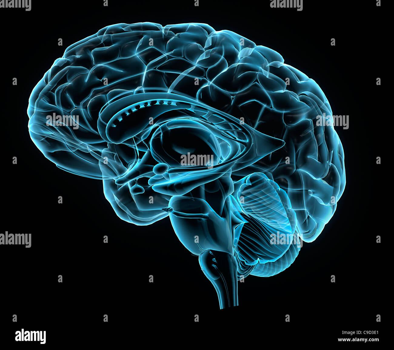 Blaue Röntgenbild der Anatomie des menschlichen Gehirns, 3-d ...