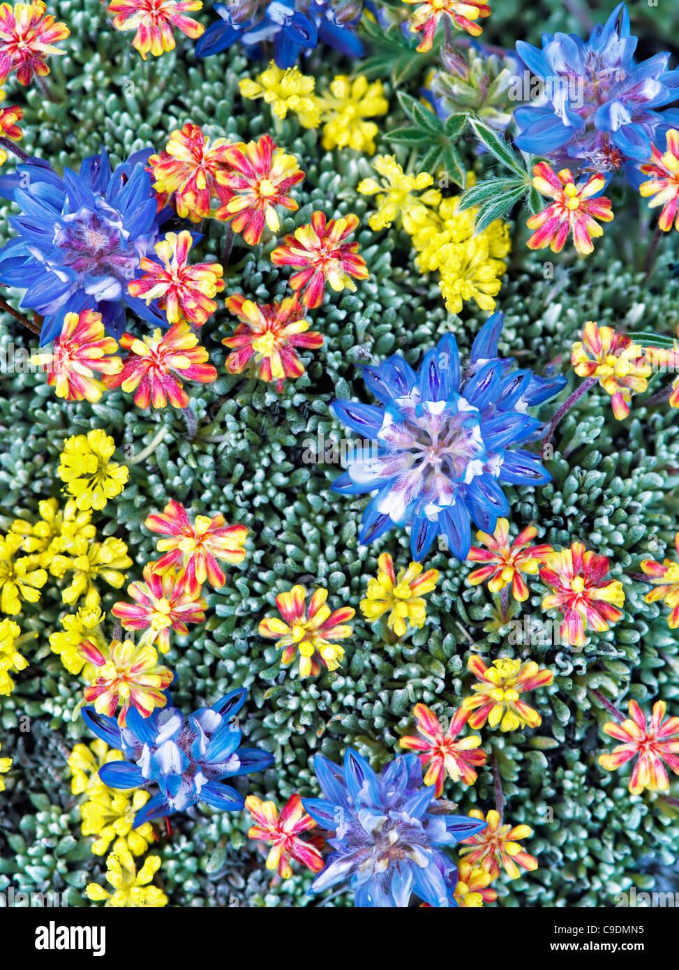 Gemischte Wildblumen. Vor allem Lupine und Sedum. Steens Mountain Wilderness, Oregon Stockbild