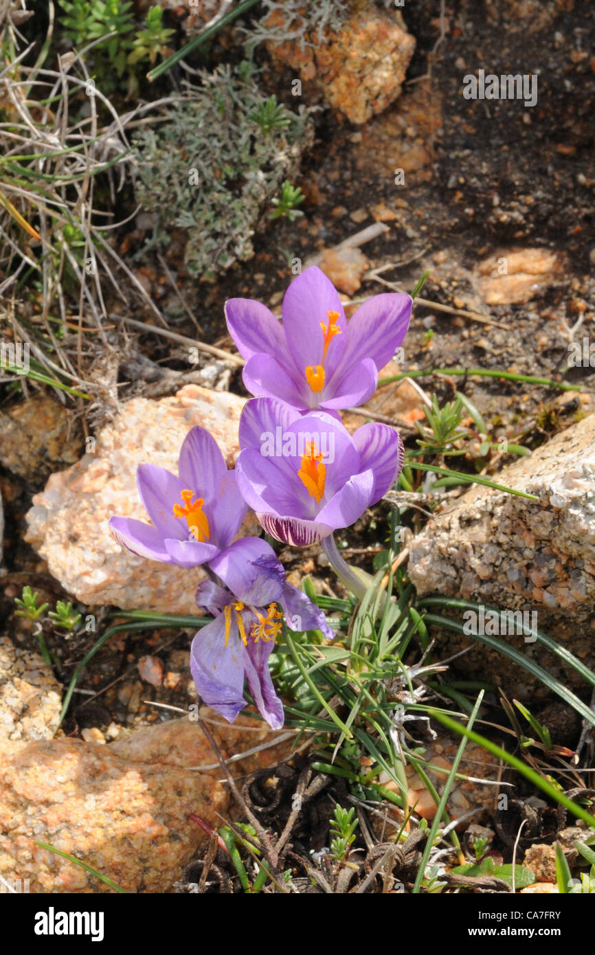 der safran blume crocus sativus in razzoli insel sardinien italien stockfoto bild 40733391. Black Bedroom Furniture Sets. Home Design Ideas