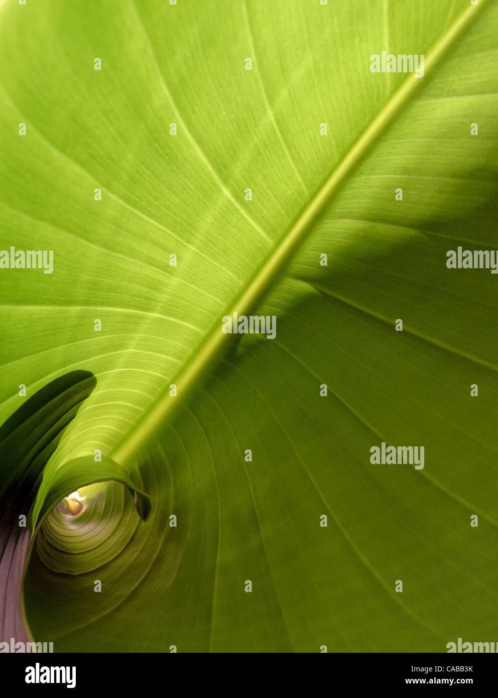 3. Juni 2004; Los Angeles, Kalifornien, USA; Bananenpflanze. Stockfoto