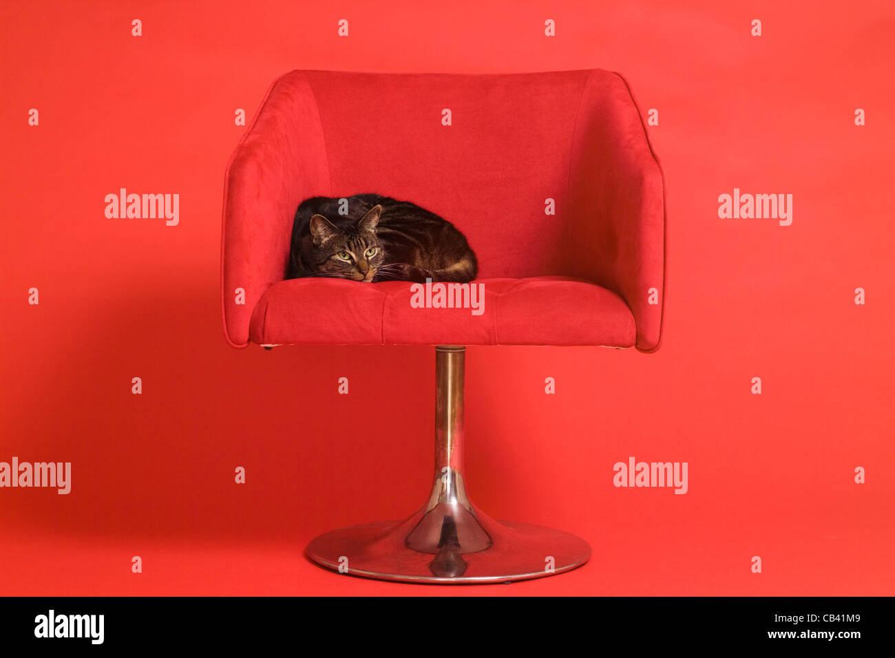 Tabby Katze In Retro Modernen Mitte Jahrhundert Roten Stuhl Auf Rotem Grund