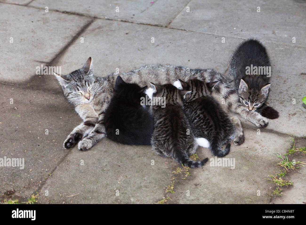 Katzenmutter, Spanferkel Kätzchen im Garten, Niedersachsen, Deutschland Stockbild