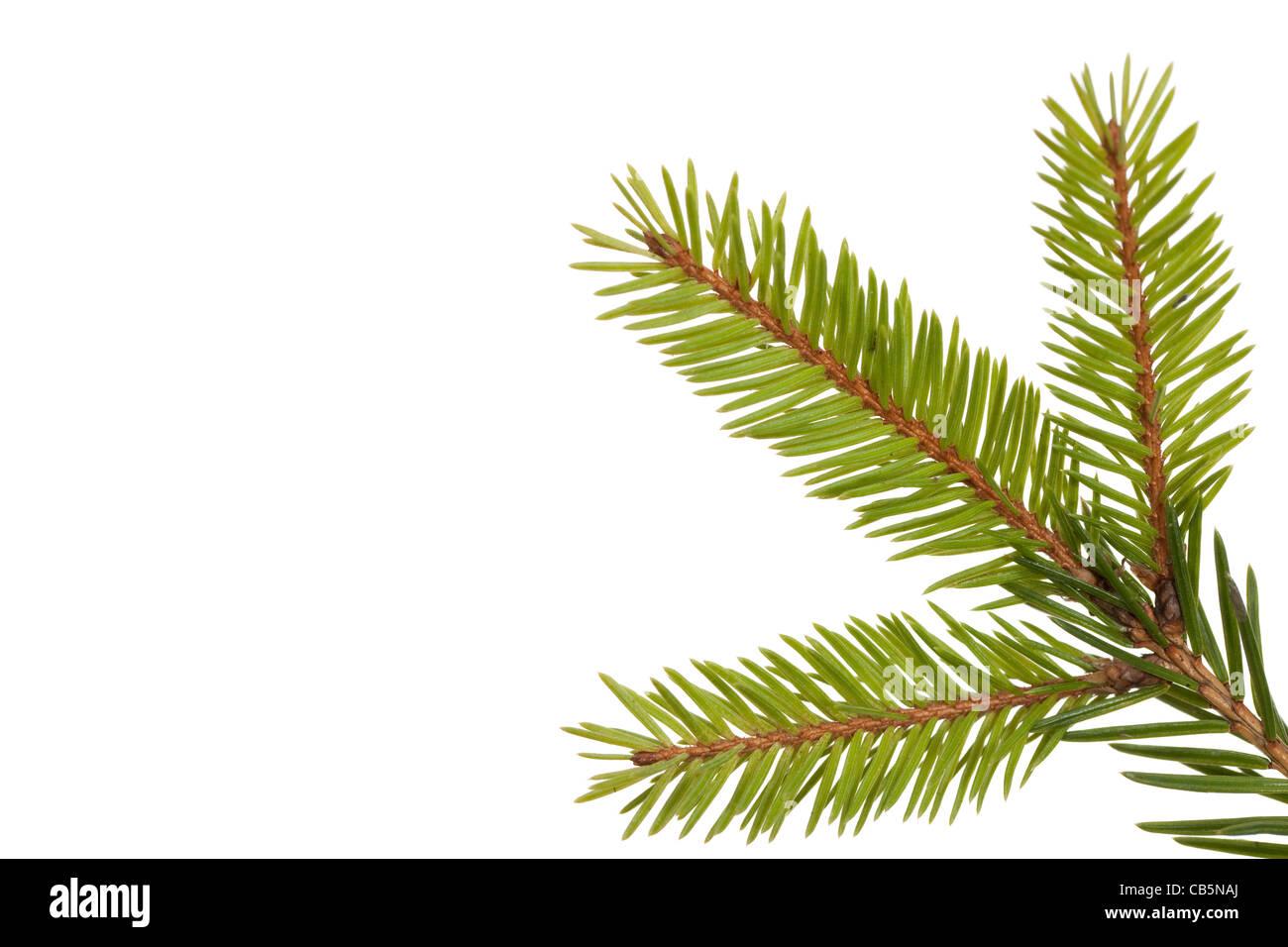 grüner Zweig des jungen Fichten auf weißem Hintergrund Stockbild