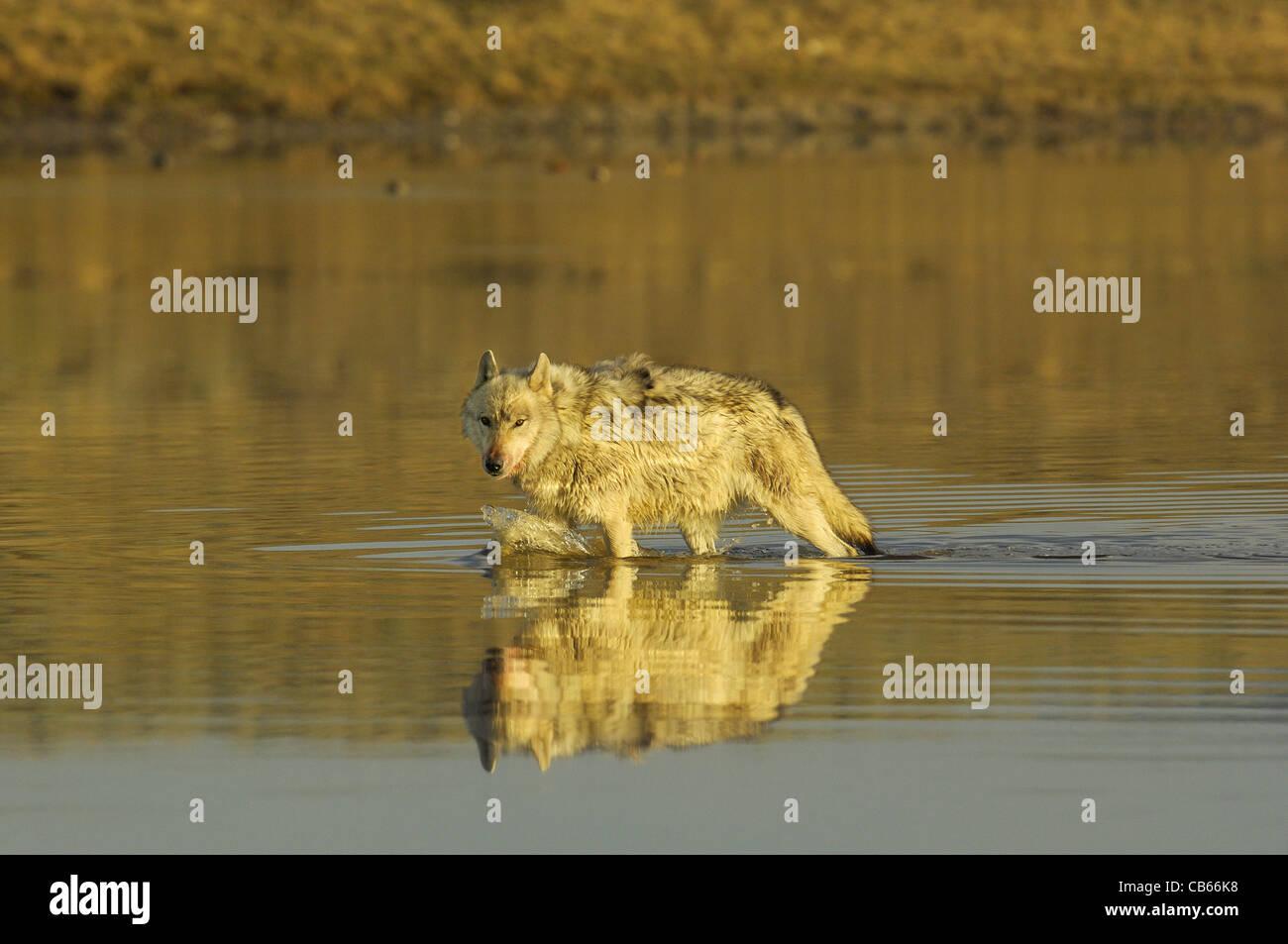 Wolf im Fluss Stockfoto