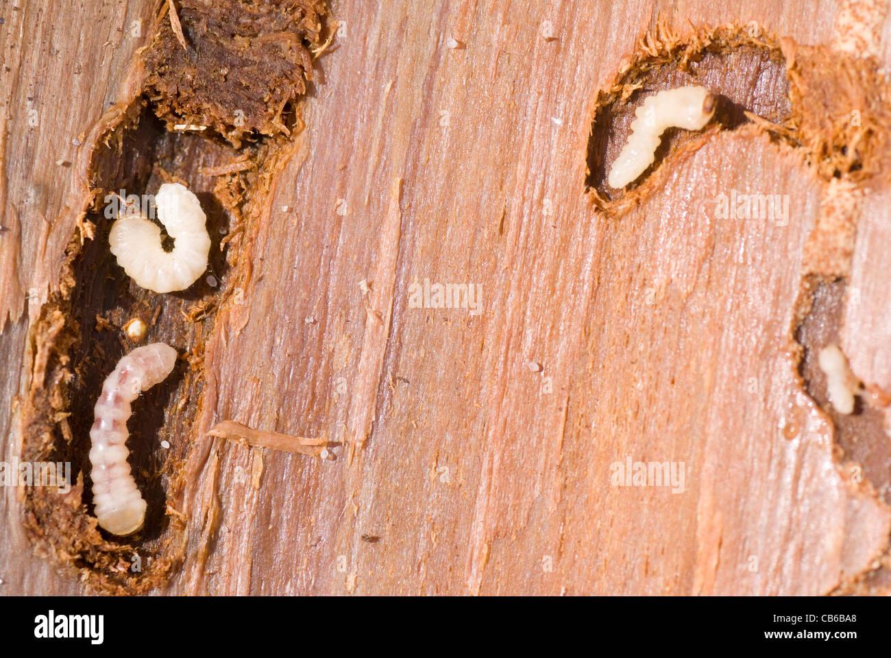 Kleiner Holzwurm Liegt Auf Braune Rinde Stockfoto Bild 41322576