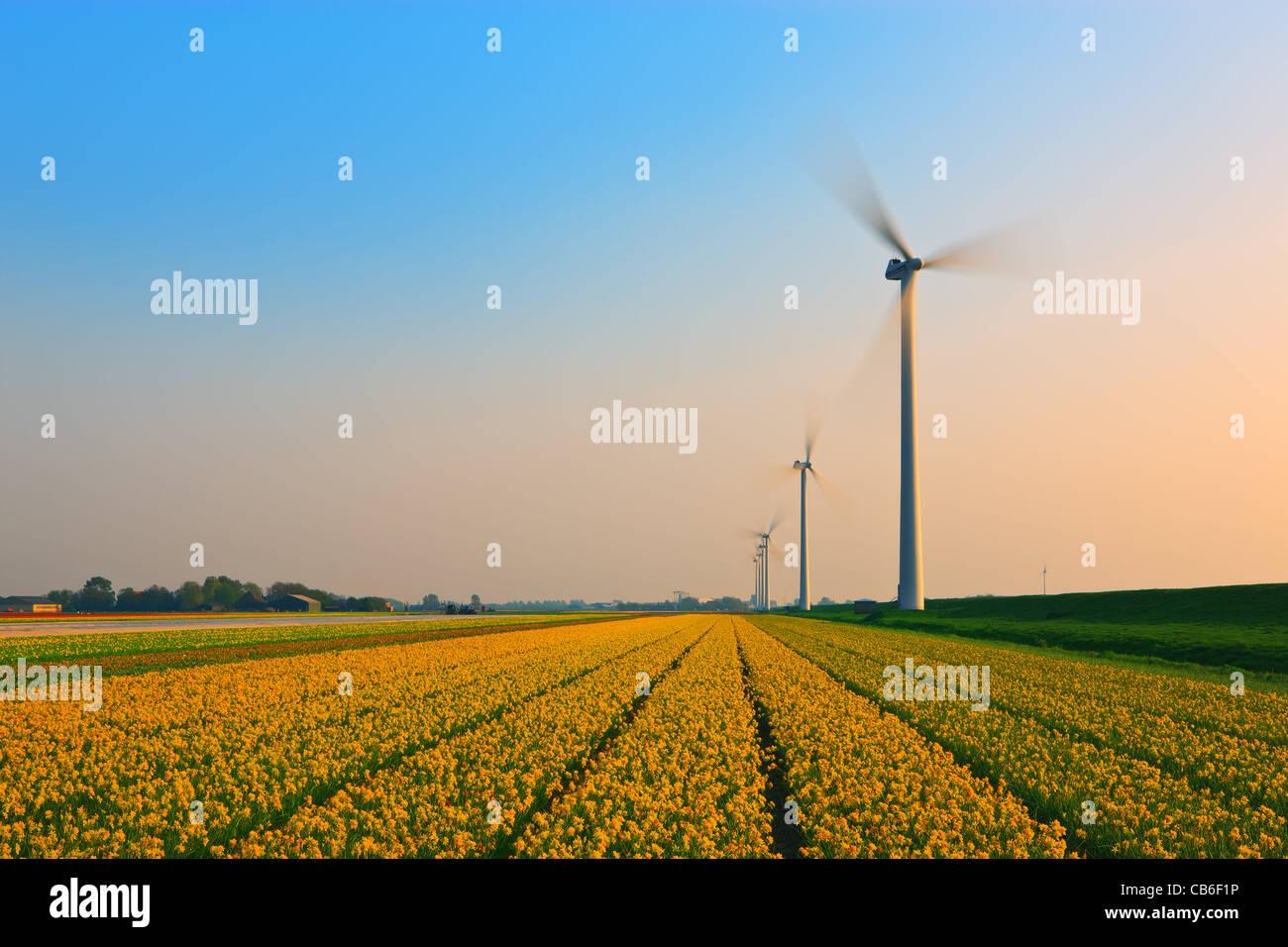Niederländische Birne und Blumen Felder im Frühling in den Niederlanden Stockbild