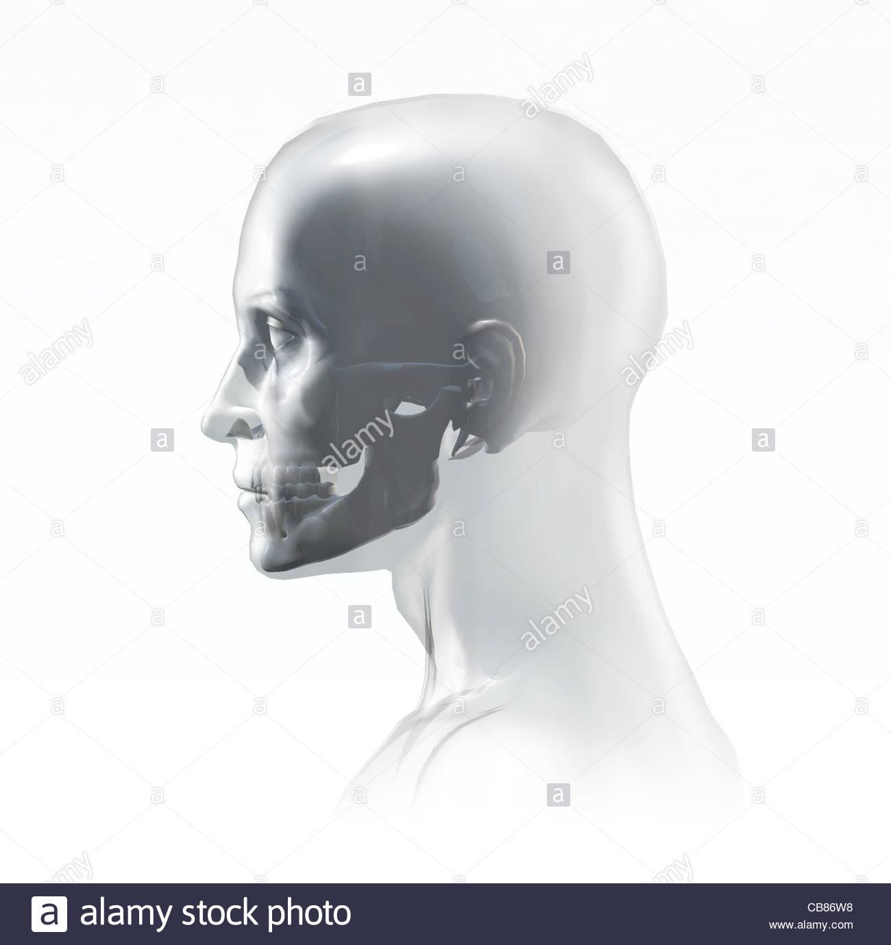 Atemberaubend Querschnitt In Der Anatomie Ideen - Menschliche ...