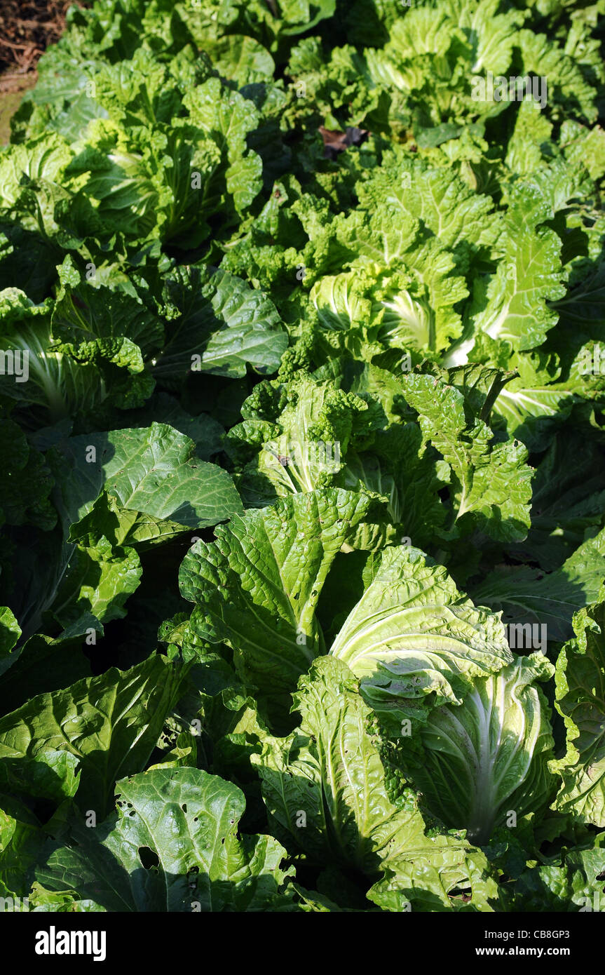 Wachstum zu kultivieren natur wachsen kohl anbau garten gr ne landwirtschaft sprie en gem se im - Gemuse im garten ...
