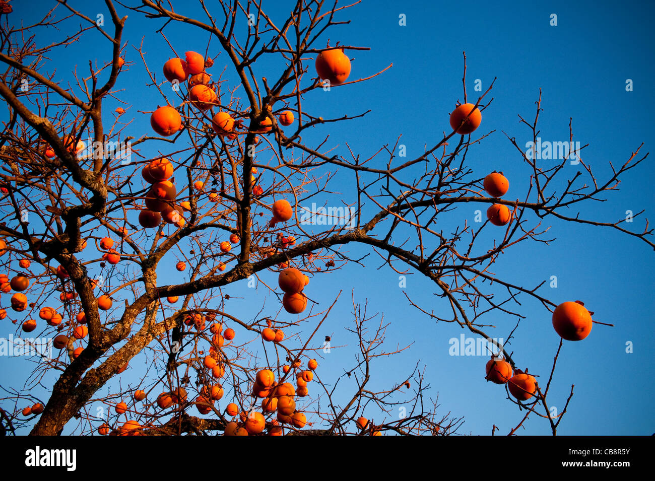 Persimone Obstbaum im Spätherbst, Umbrien, Italien Stockbild
