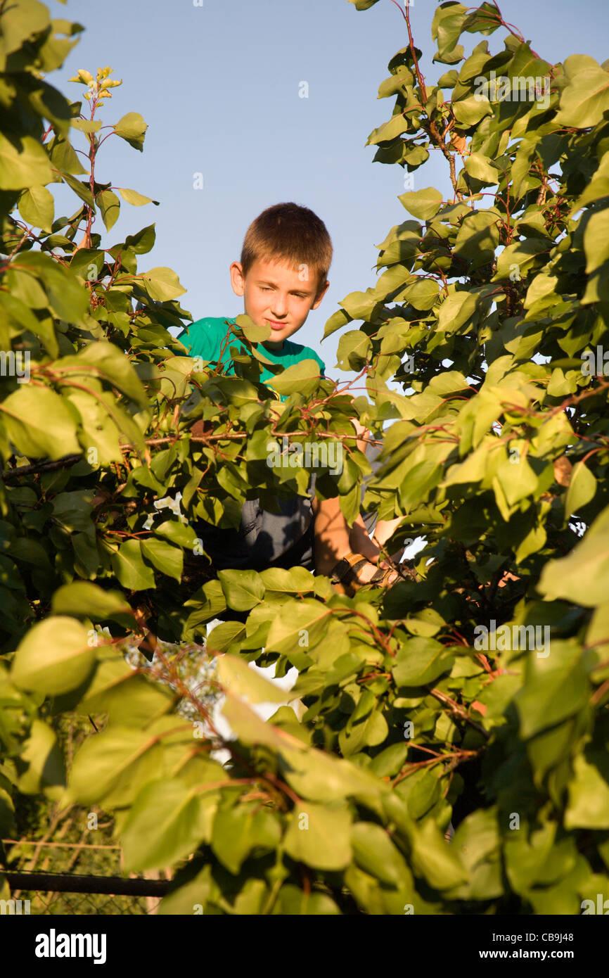 kleiner Junge auf der Obstbaum im Abendlicht Stockbild