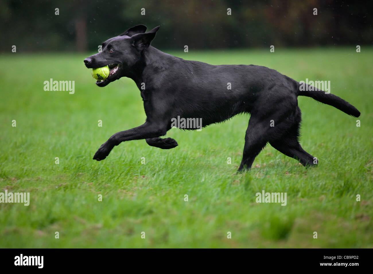 Schwarze Labrador (Canis Lupus Familiaris) Hund laufen und bezaubernde Tennisball im Garten im Regen Stockbild