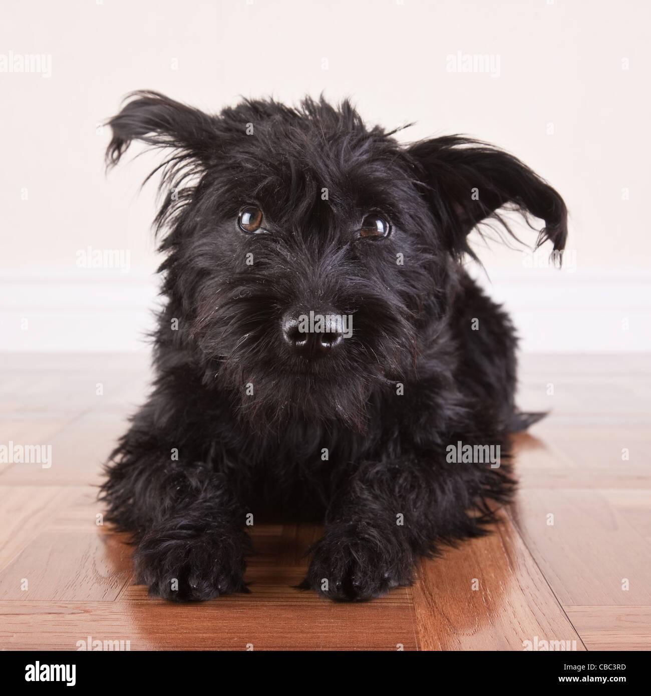 Großartig Haar Terrier Mix Hunde Bilder - Der Schaltplan - triangre.info