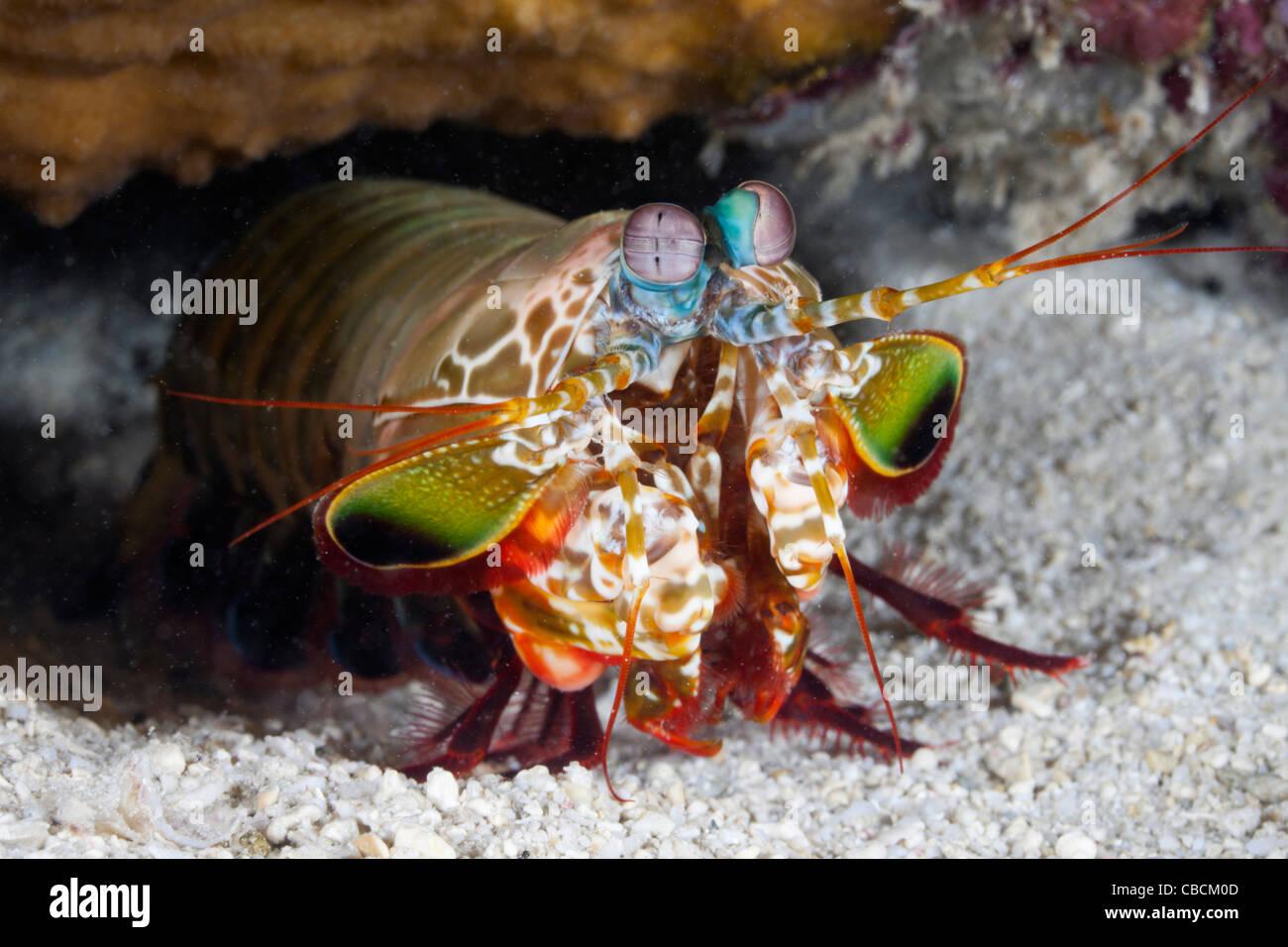 Mantis Smasher Garnelen, Cenderawasih-Bucht, West Papua, Indonesien Stockbild