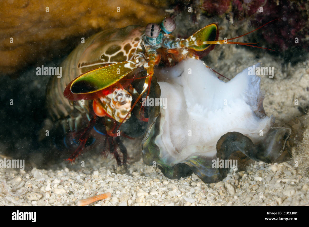Fangschreckenkrebse Smasher mit seiner Beute, Cenderawasih-Bucht, West-Papua, Indonesien Stockbild