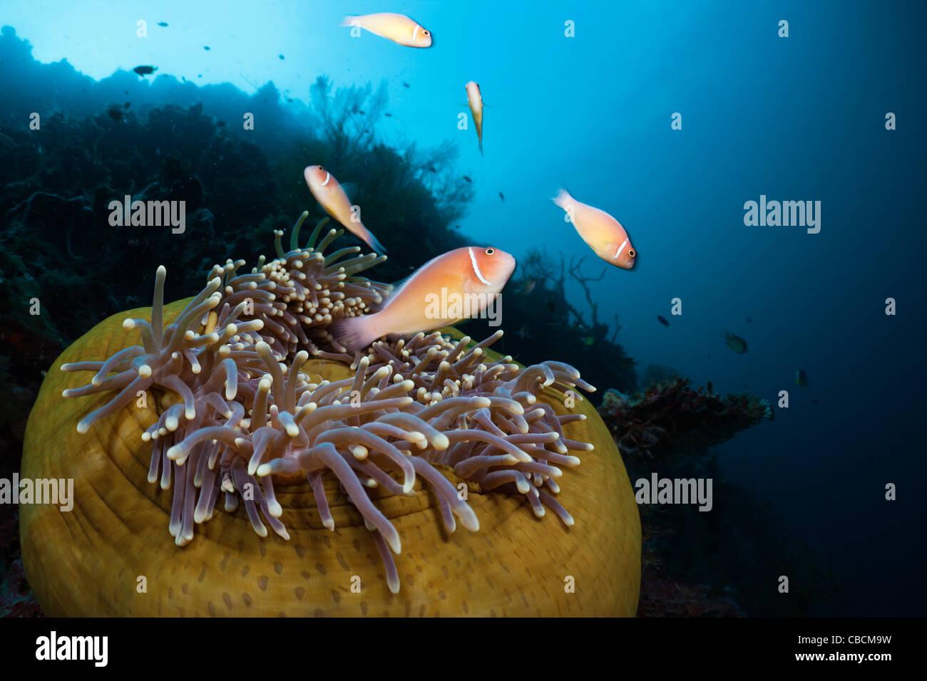 Rosa Anemonenfische in herrlichen Seeanemone, Amphiprion Perideraion, Heteractis Magnifica, Cenderawasih-Bucht, Stockbild
