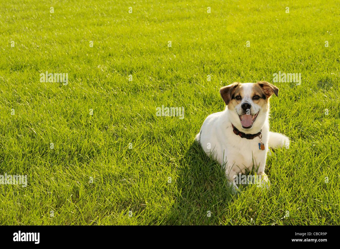 Hund auf Backlit-Feld im Sommer Stockbild