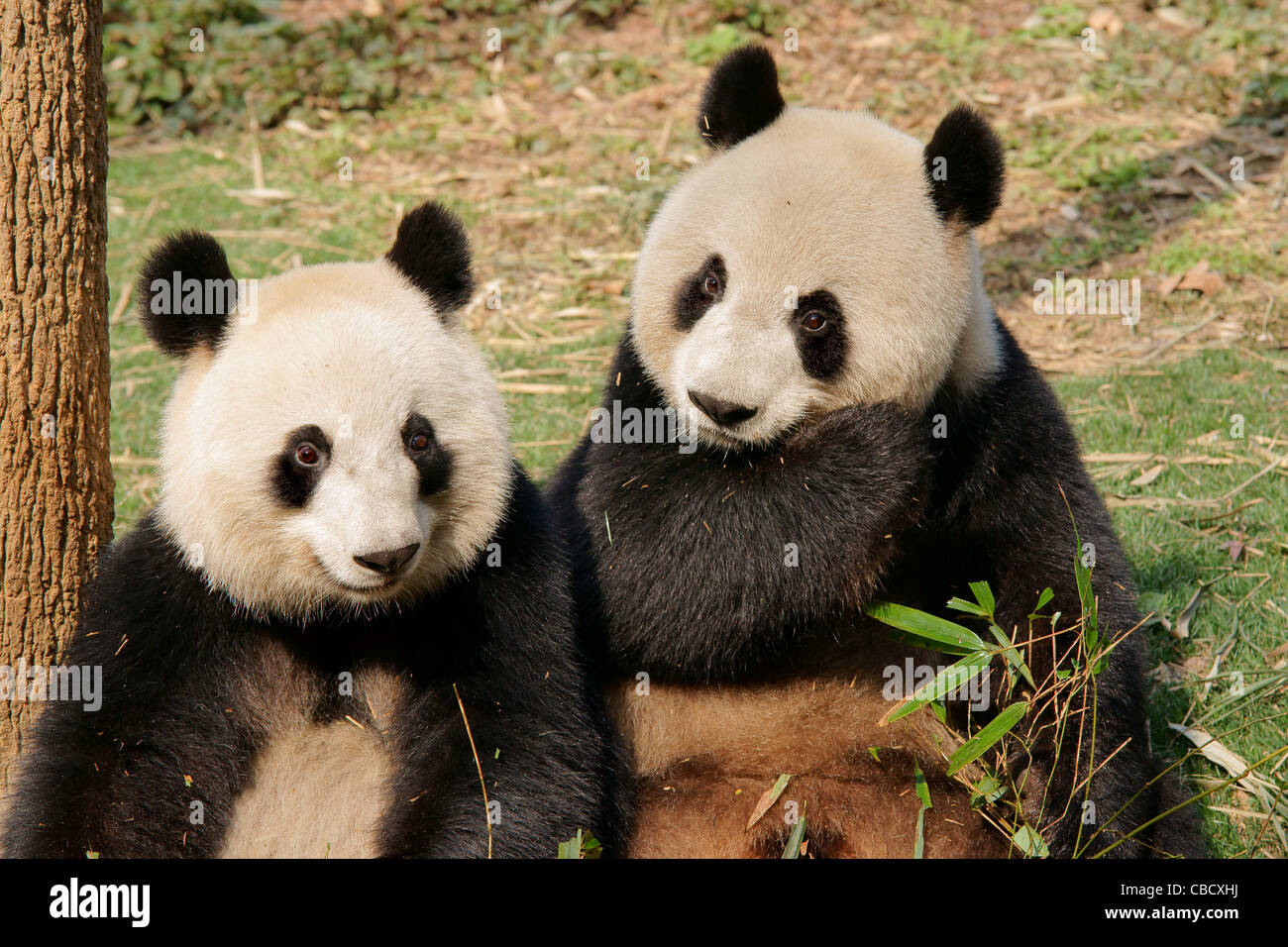 Pandas Essen Bambus Sprossen In China Stockfoto Bild 41466254 Alamy