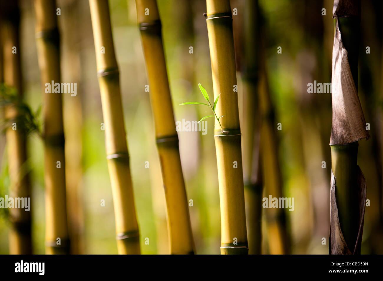 Blätter sprießen Bambus Stockbild