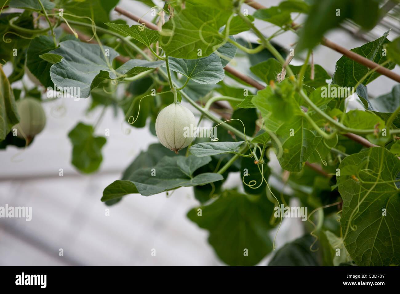 Eine Melone Melone wachsen auf einem Weinstock Stockbild