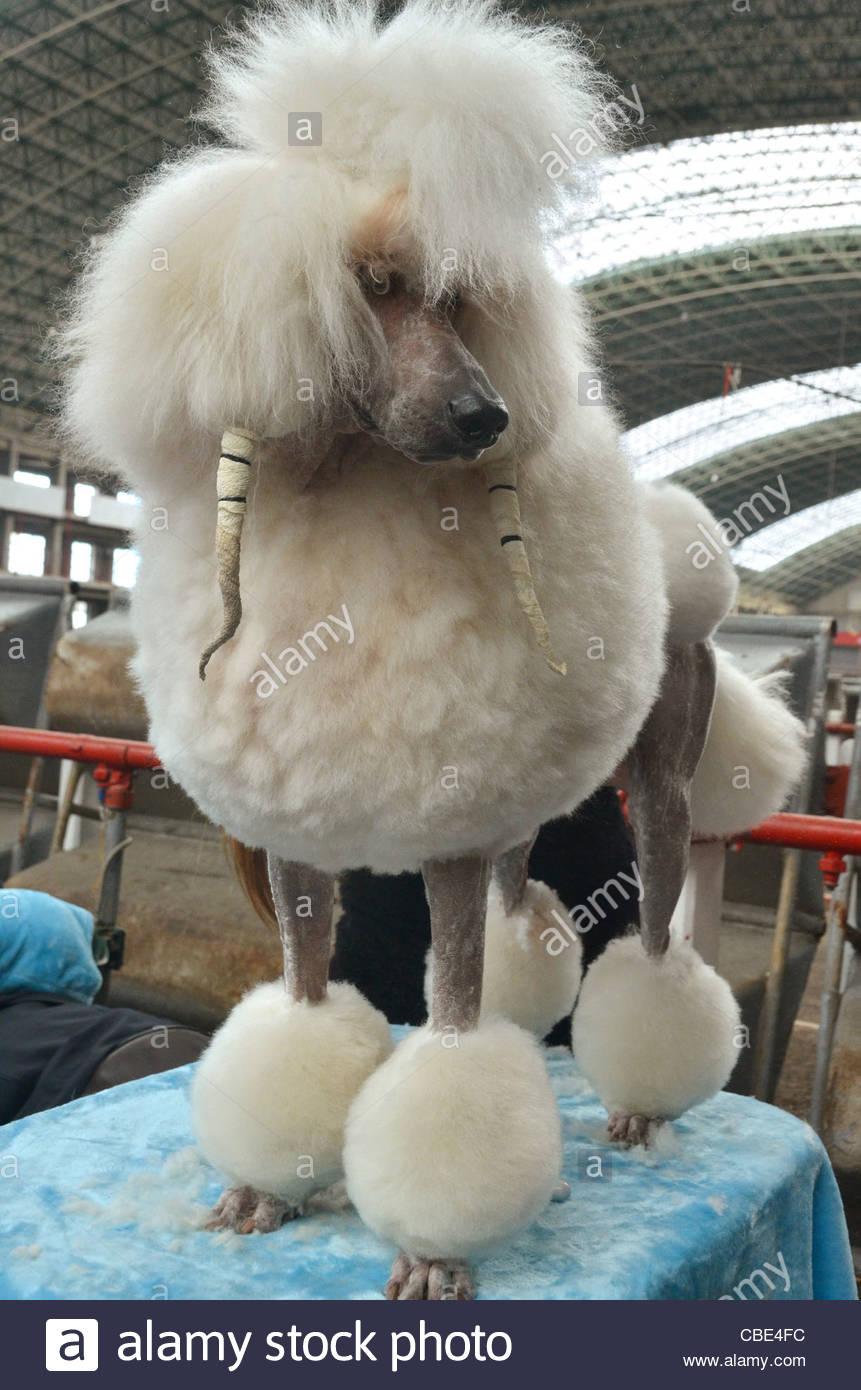 Die spanische nationale Hundeausstellung in Torrelavega, im Norden von Spanien. Ein Pudel ist vor der Show gepflegt Stockbild