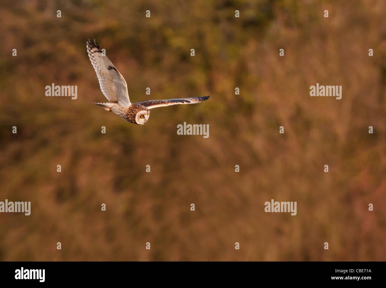 Wilde Short Eared Owl-Jagd über grobe Grasland in Leicestershire Stockfoto