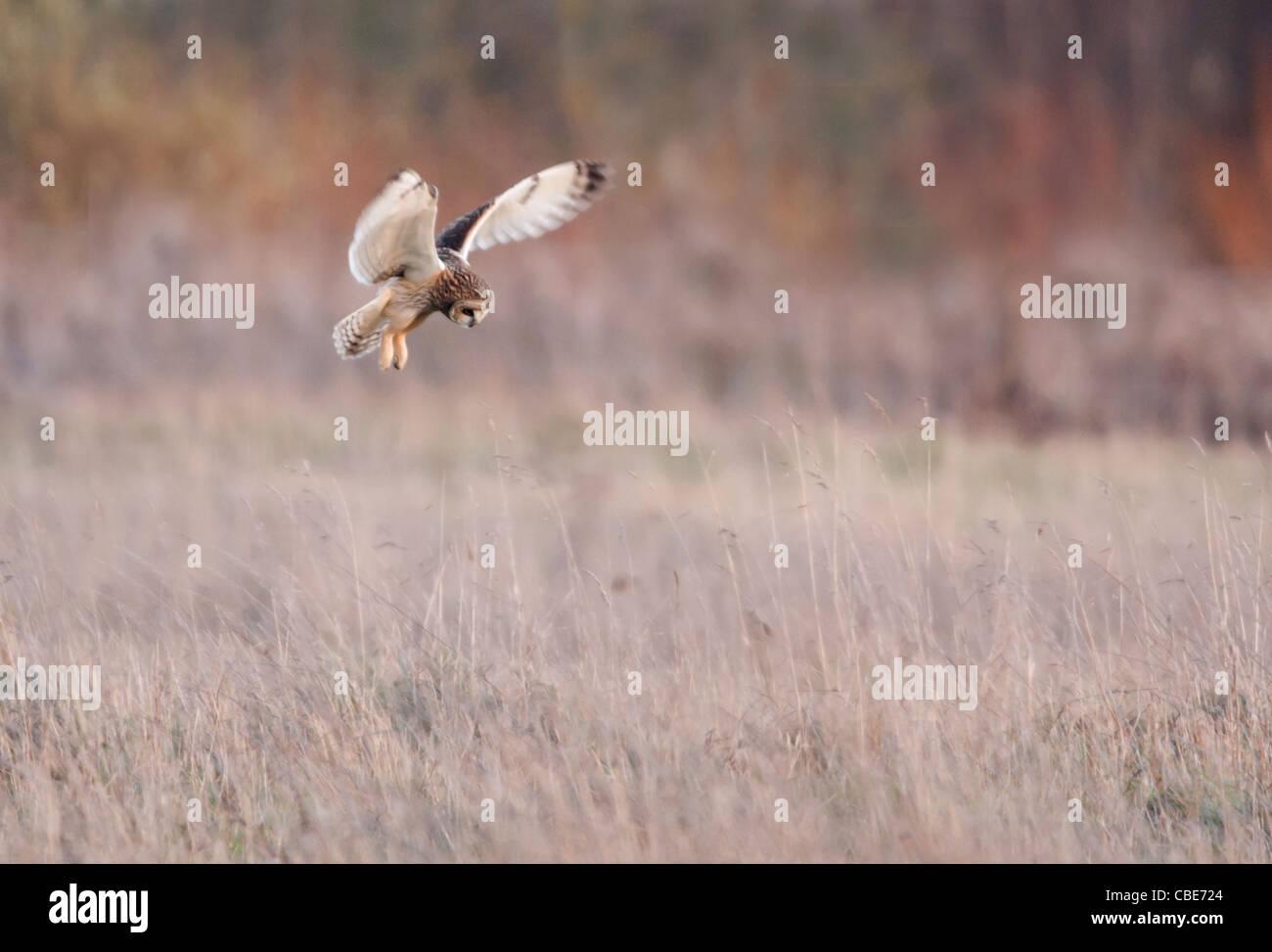 Wilde Short Eared Owl schwebt über Beute auf grobe Grasland in Leicestershire Stockfoto