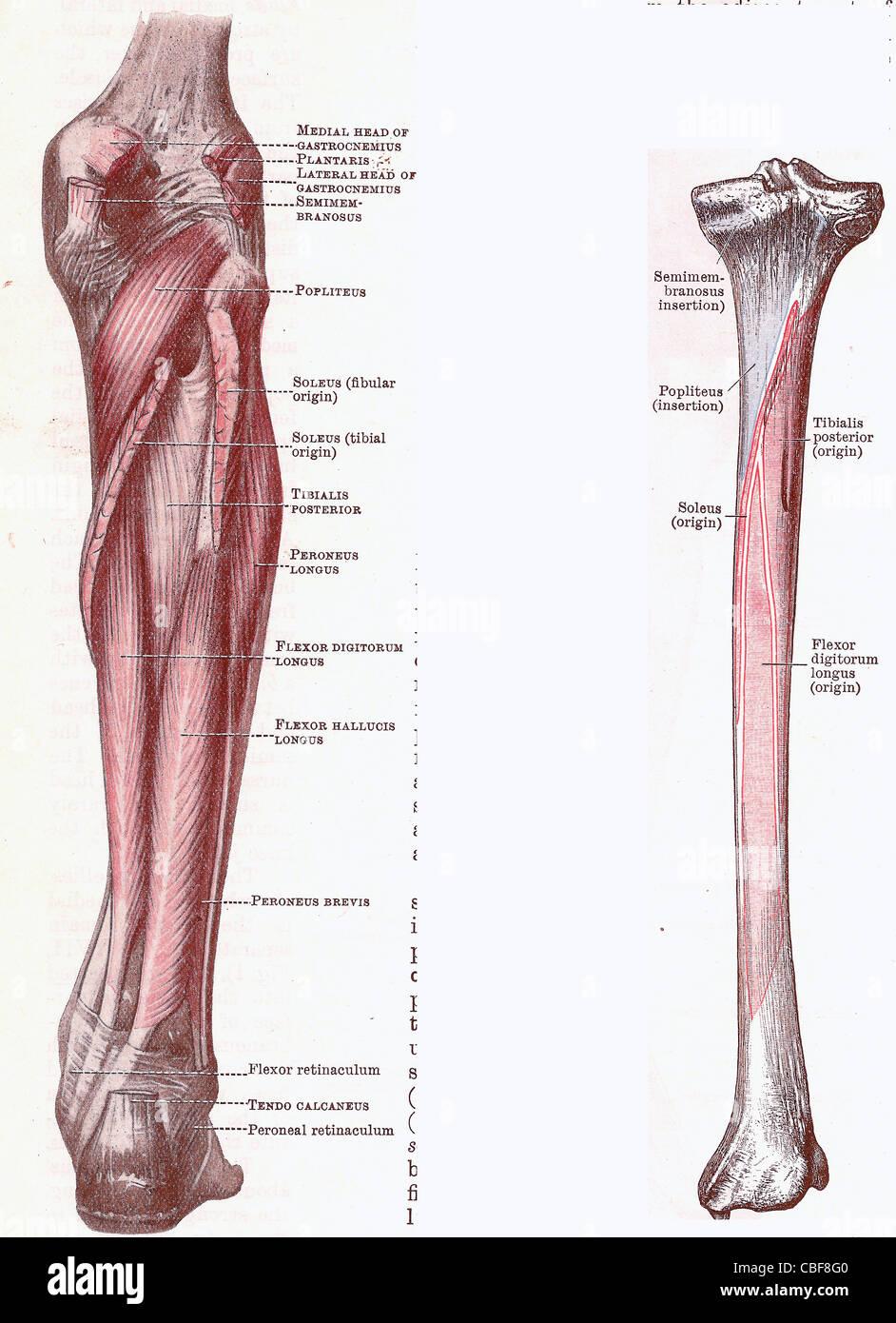 Dissektion des Unterschenkels, Muskeln und Anhänge aus einem Anfang ...