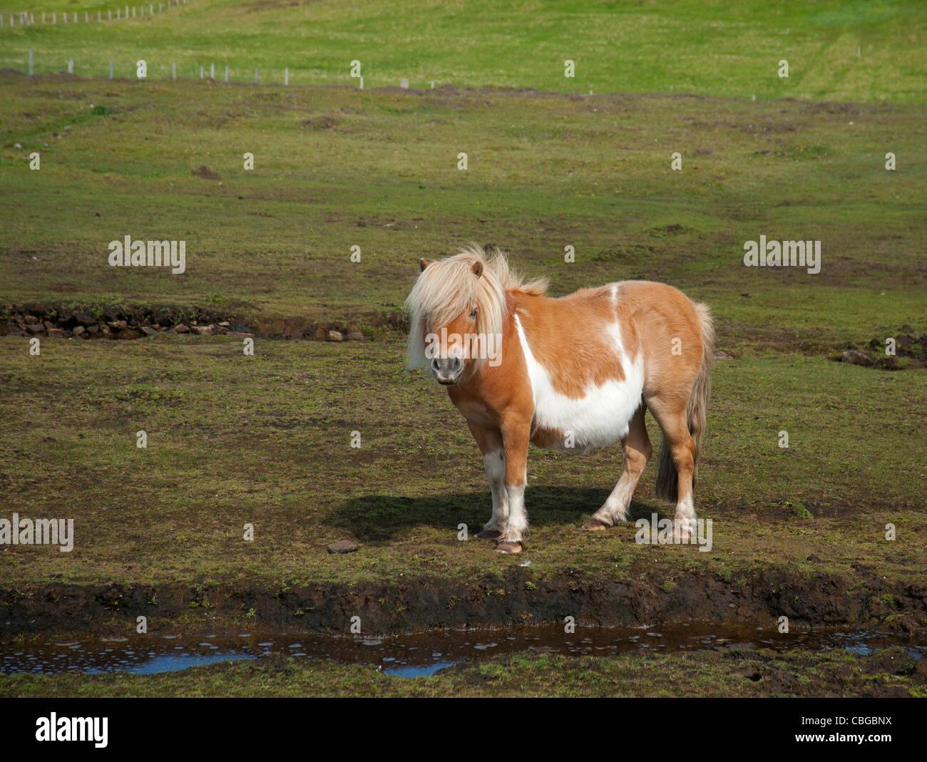 Shetland-Pony auf der Shetland-Insel von Bressay, Schottland. Vereinigtes Königreich.  SCO 7771. Stockbild