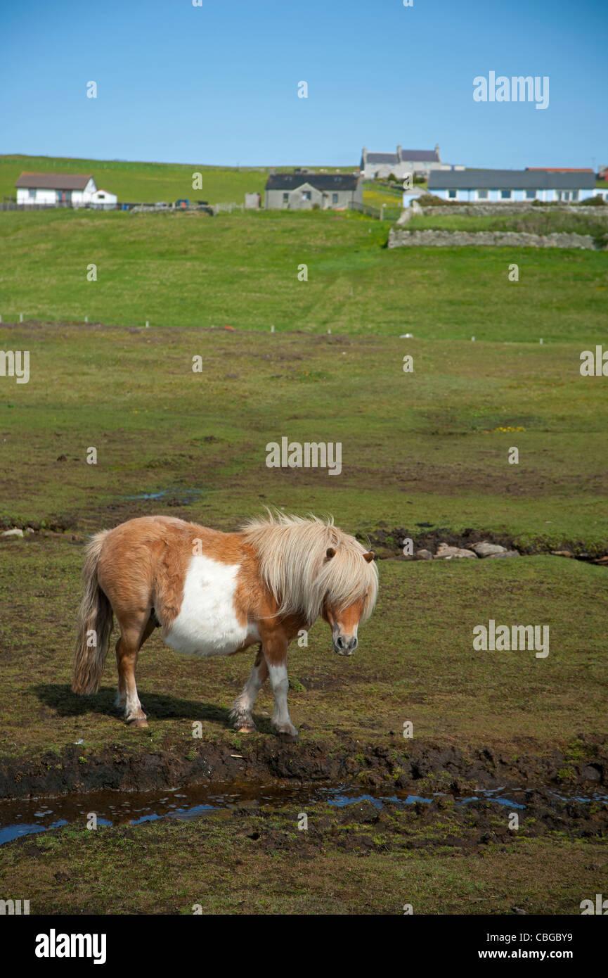Shetland-Pony auf der Shetland-Insel von Bressay, Schottland. Vereinigtes Königreich. SCO 7772 Stockbild