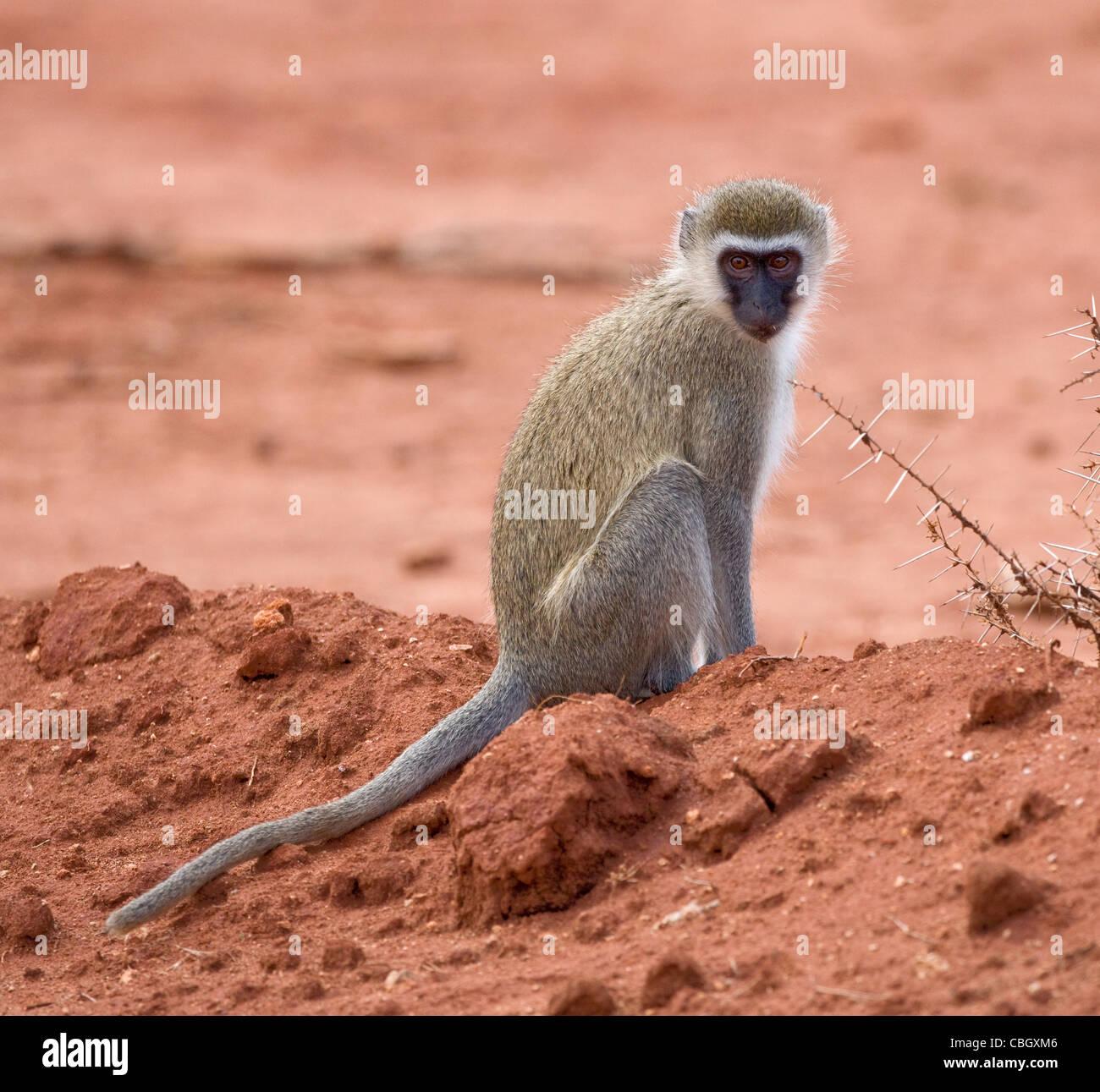 Vervet Affen Chlorocebus Pygerythrus sitzt auf der bloßen Erde in Tsavo Nationalpark Kenia Stockfoto