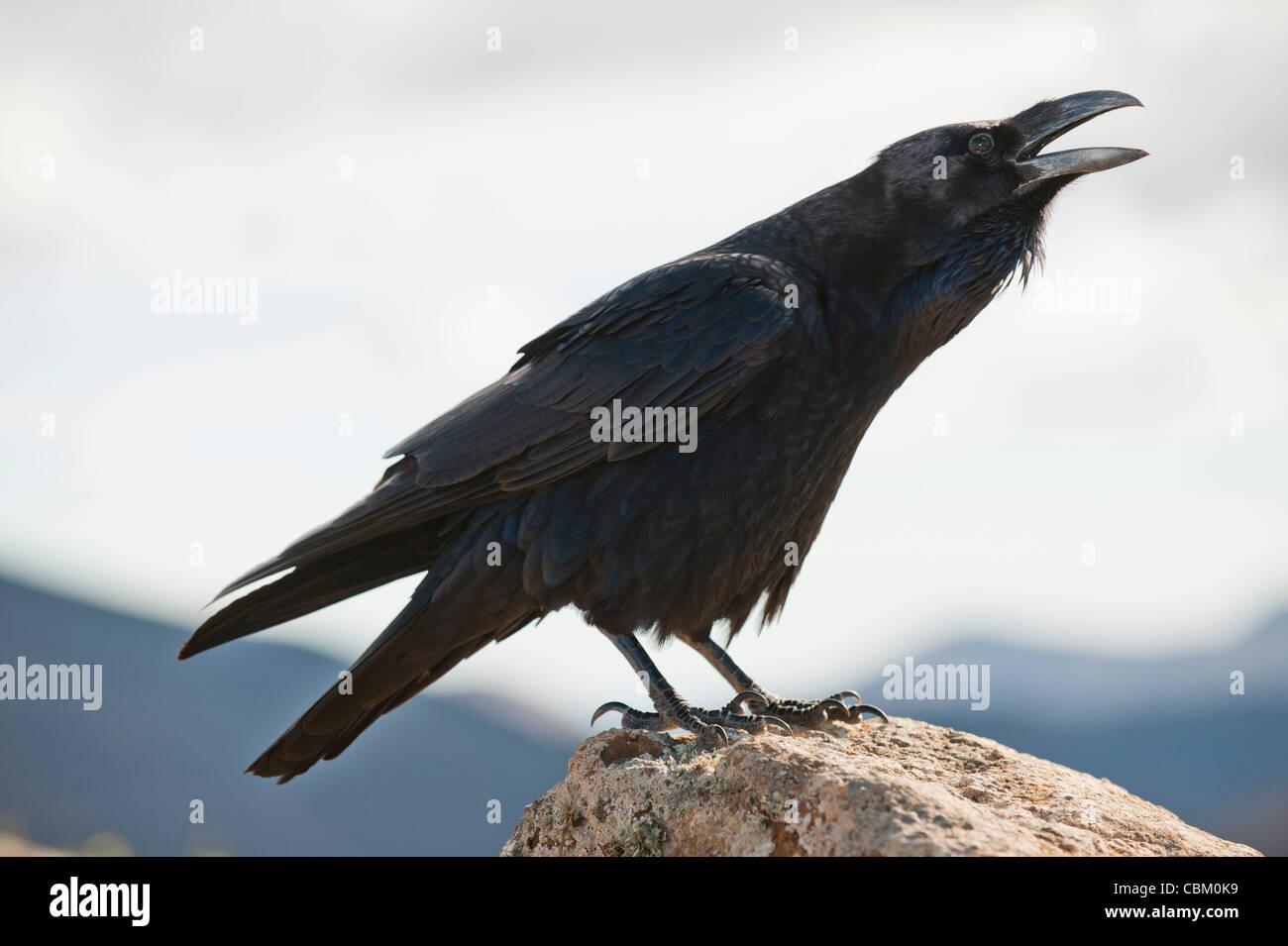 Raven Sie (Corvus Corax) im Gipfel des Vulkans Montaña Blanca, Lanzarote, Kanarische Inseln, Spanien Stockbild