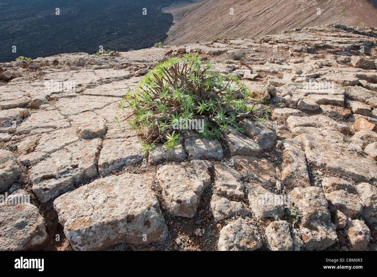 Euphorbia ssp. Anlage auf die Verwüstung der Gipfel des Vulkan Caldera Blanca auf Lanzarote, Kanarische Inseln, Stockbild