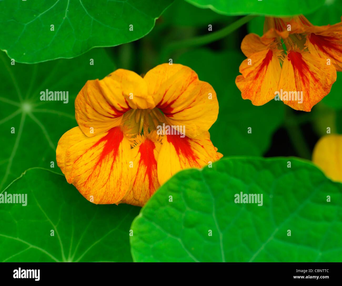 Welche Blumen Blühen Im September kapuzinerkresse tropaeolum rot orange gelb bunt bunte helle blumen