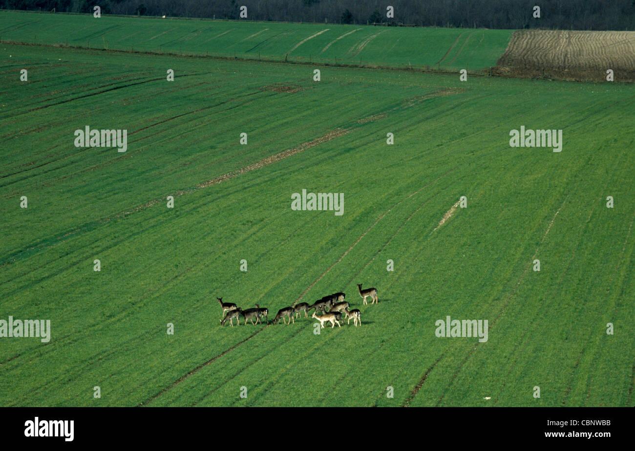 Eine Herde Rehe in einer jungen Weizenernte Stockbild