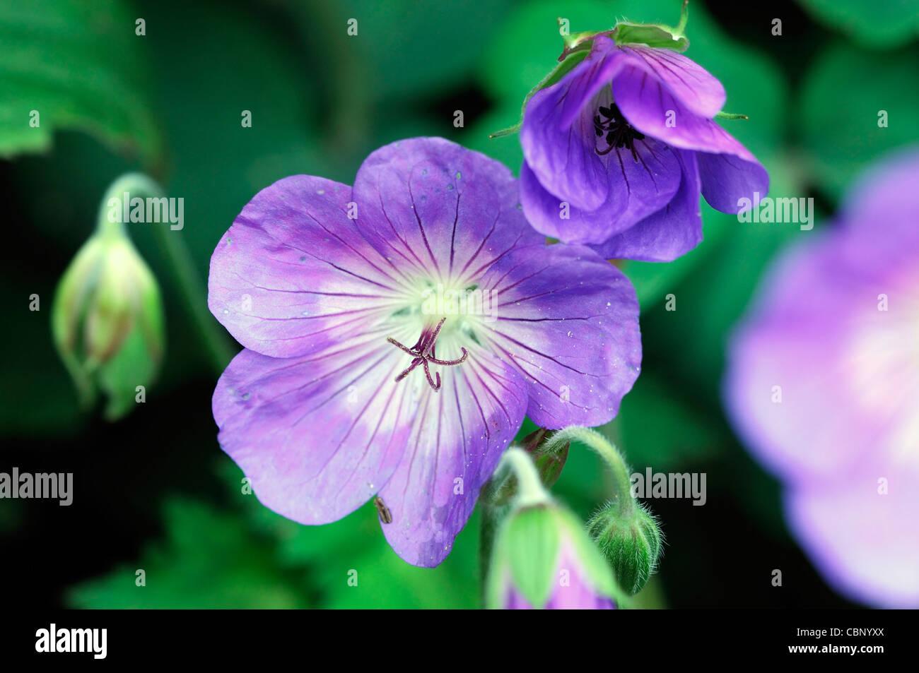Storchschnabel jolly Bee Rozanne Storchschnabel Blumen Blüten-Blüten-Stauden blau lila Closeup hautnah Stockbild