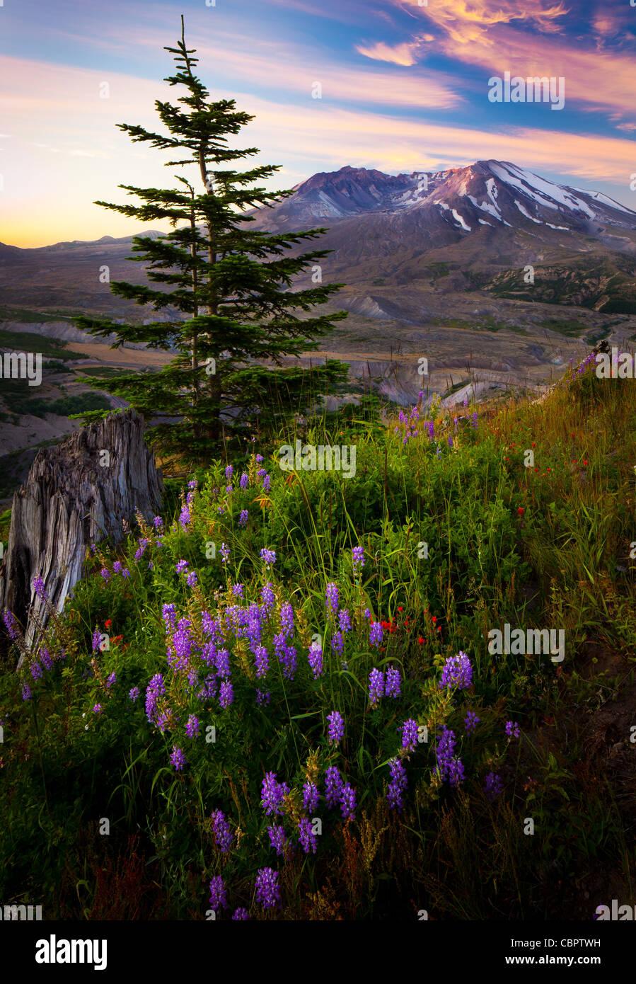 Sonnenaufgang am Mount St. Helens National Volcanic Monument mit Sommer Wildblumen im Vordergrund Stockbild