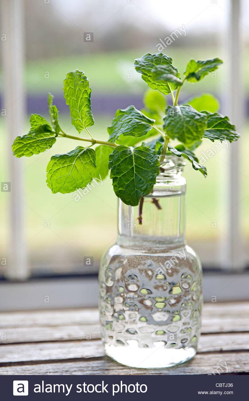 Neu aufgenommen gemeinsame Minze (Mentha Spicata) in einem Glas auf einem Fensterbrett Stockbild