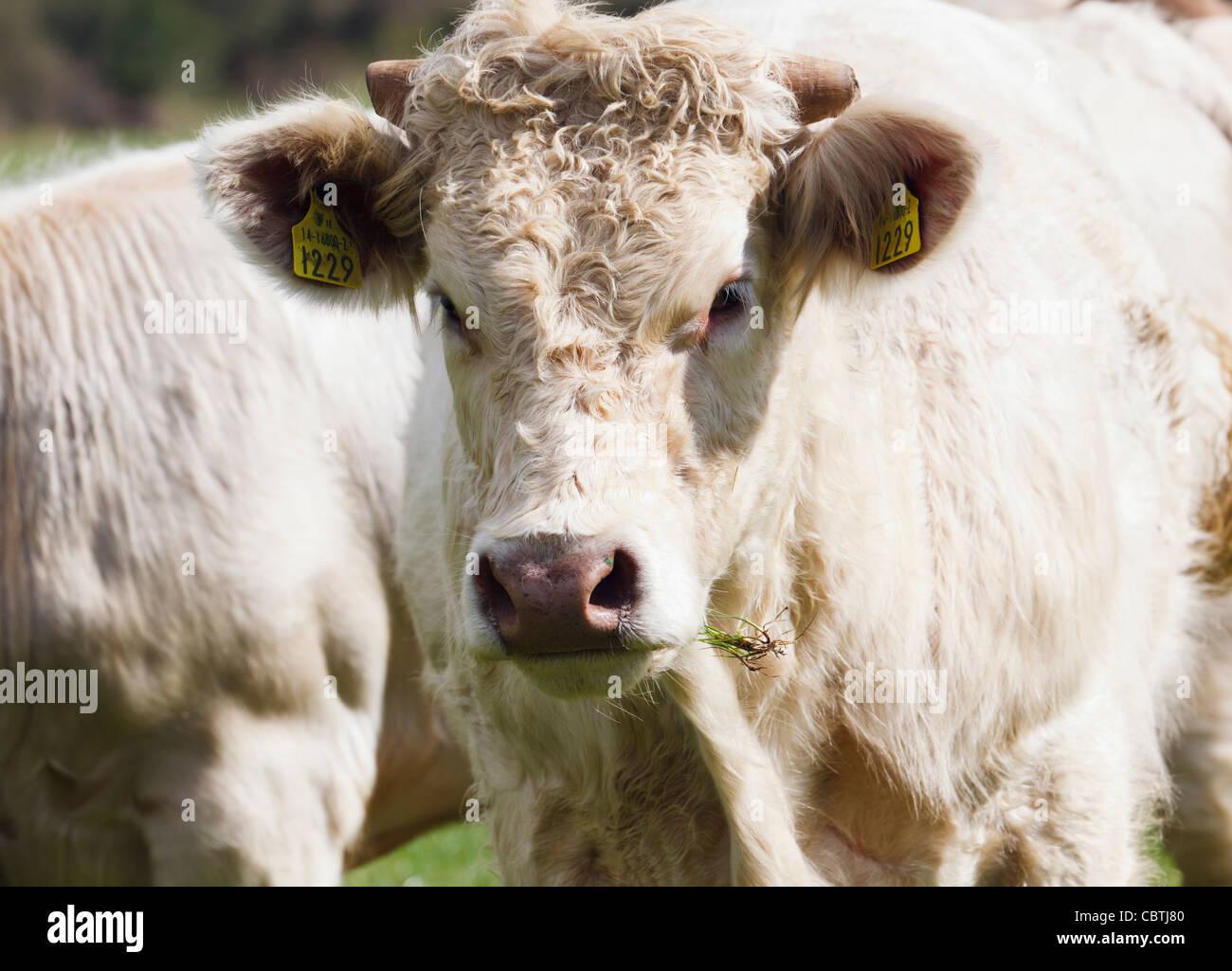 Tier, Vieh Erkennungsmarke tragen, in jedem Ohr, in der Nähe von Ballynacarriga, County Cork, Irland. Stockbild