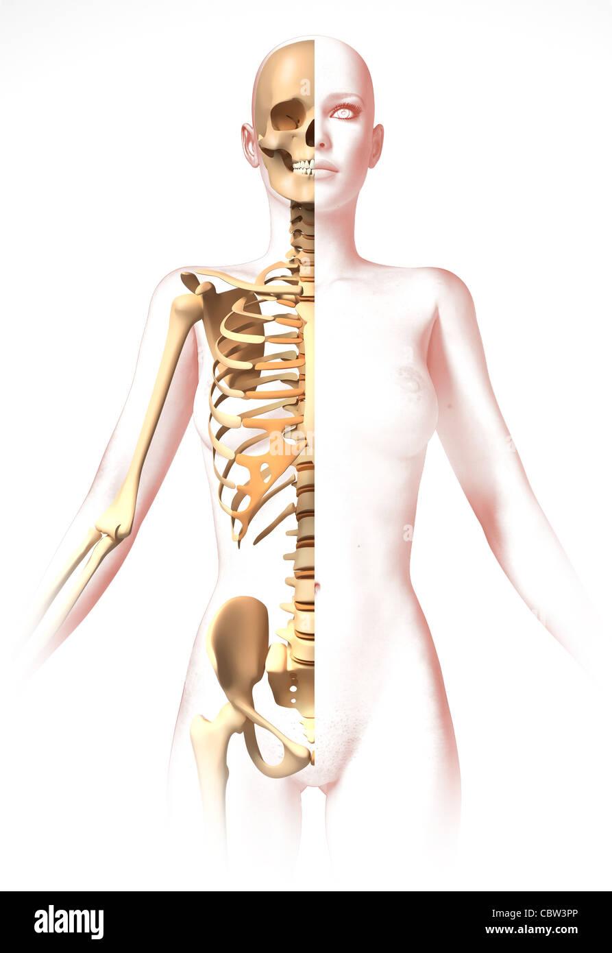 Körper der Frau, mit Skelett. Anatomie-Bild, stilisierte Aussehen ...