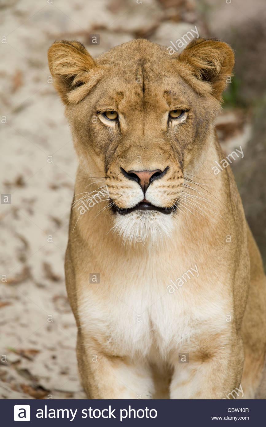 Afrikanischer Löwe, Jacksonville Zoo, Florida Stockbild