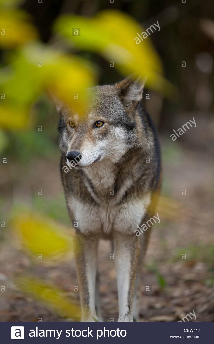 Red Wolf, Jacksonville Zoo, Florida Stockbild
