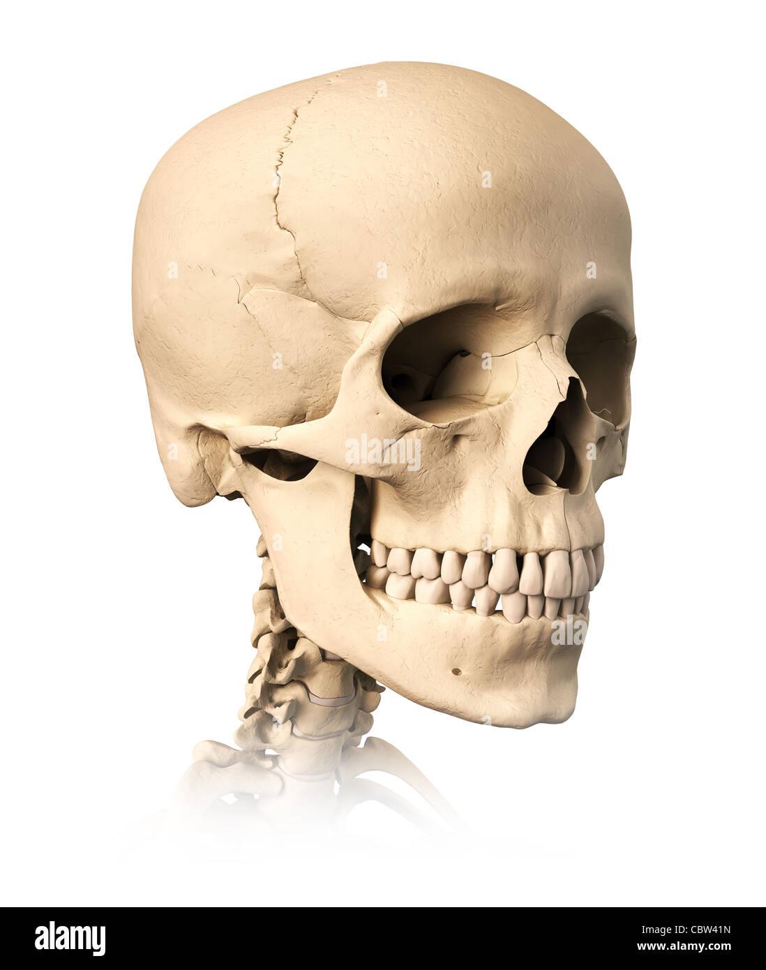 Sehr ausführlich und wissenschaftlich korrekt menschlichen Schädel ...