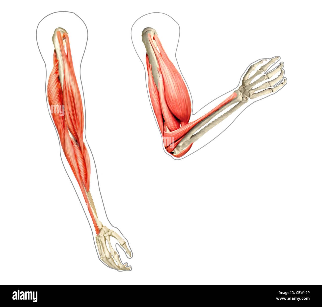 Menschlichen Arme Anatomie Diagramm, Knochen und Muskeln beim beugen ...